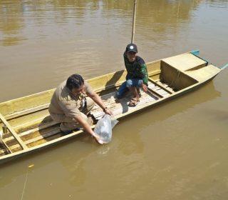 Restocking Ikan Nila Sidamukti (1)